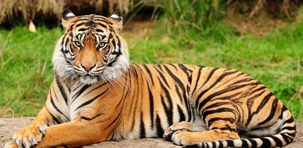 Mua mèo nhận hổ
